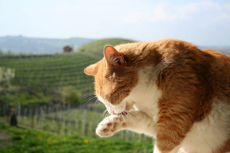 ginger cat in Barbaresco vineyards Piedmont Italy Relaxing Animal Themes Barbaresco Vineyards Cat Outdoors Cat Portrait Close-up Day Domestic Animals Domestic Cat Feline Focus On Foreground Ginger Cat Grass Mammal Nature No People One Animal Outdoors Pets Sky Spring Springtime