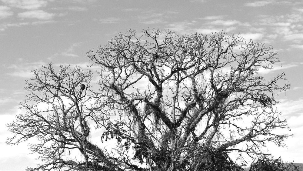 Acaiacá Nature Photography Pindamonhangaba Sao Paulo - Brazil Sky And Clouds Beauty In Nature Big Tree Black And White Photography Cedro Nature_collection Winter Days