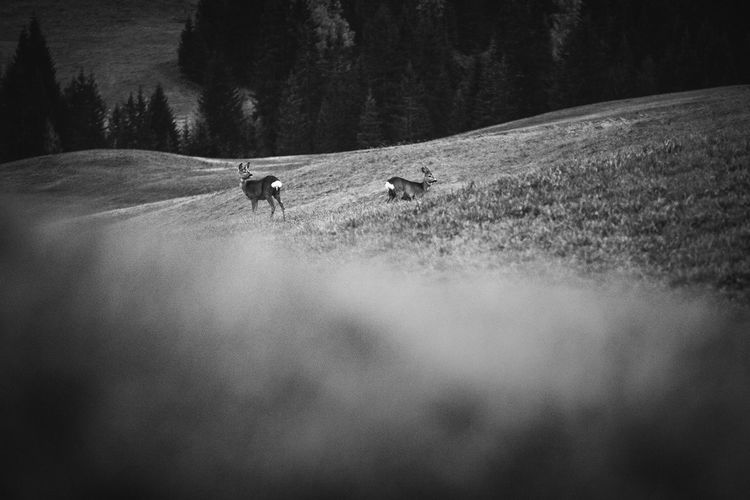 Autumn landscape from Dolomite Mountains, Italy. Dolomiti Dolomites Italy Mountain Alps Nature Landscape Europe Alpine Trees Pine Tree Two Couple Deer Black And White Sunset Mammal One Animal Tree Animal Wildlife Land Vertebrate Environment Outdoors Wildlife