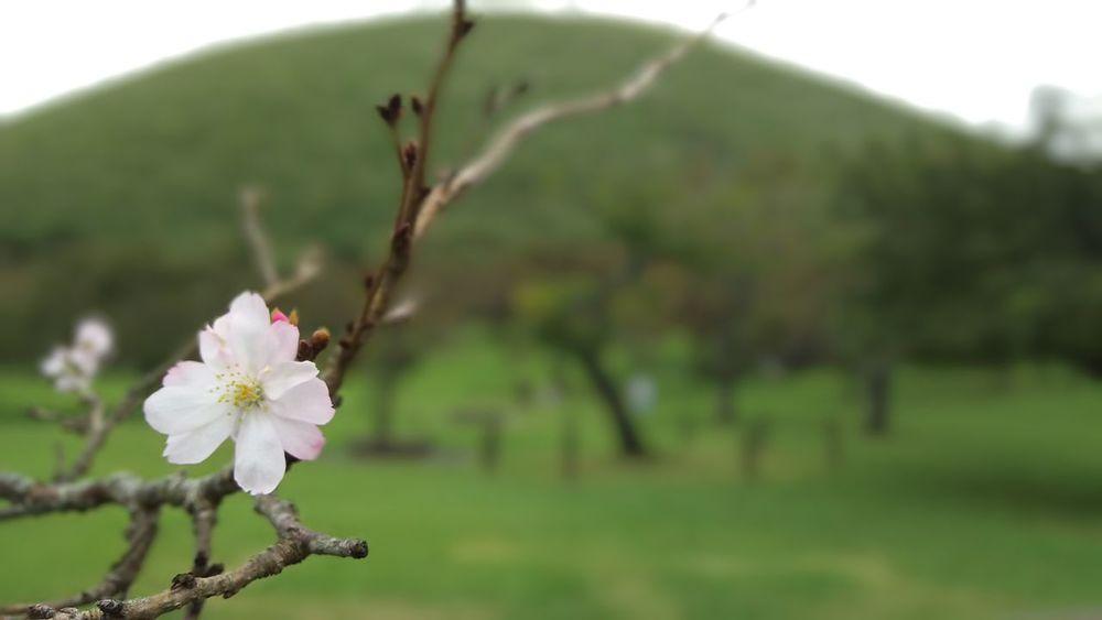 Cherry Blossoms Izu Japan 10月桜 伊豆 大室山 Omuroyama