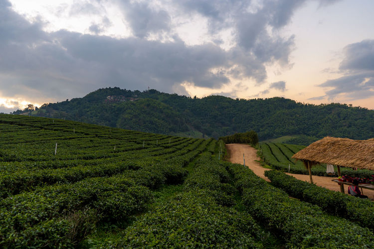 Green tea plantation landscape, tea plantation 101 doi mae salong, chiangrai thailand.