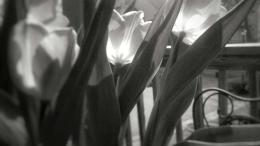 Between every flower petal is a door leading to a Whole new world. Imagination Beautiful Blackandwhite Nopeople Likeforlike Flowers Floral Nature Spring Spring Flowers Nature_collection Nature Photography Naturelovers Nature_perfection Tulips Natureporn Flowerporn Petals Inspirational Riseandshine Quotes Revisedquotes