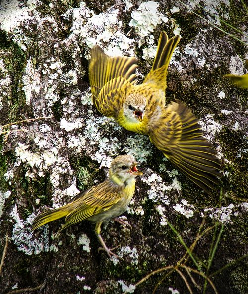 Hungry juvenile Saffron finches Baby Birds Finch Hawaii Hungry Animal Themes Animal Wildlife Animals In The Wild Beauty In Nature Bird Close-up Day Motion Nature No People Outdoors Perching Spread Wings Yellow