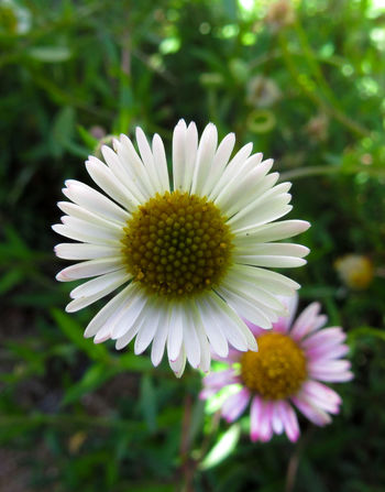Flora Beauty In Nature Bloom Blooming Blossom Botany Close-up Daisy Day Flower Flower Head Focus Focus On Foreground Fragility Freshness Growth In Bloom Nature Outdoors Petal Plant Pollen Selective Focus Single Flower Softness Springtime