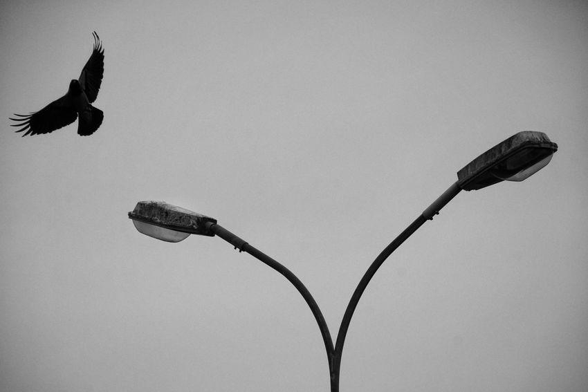 Niklas Storm Okt 2018 Crow Grey Crow Bird Bird Of Prey Silhouette Sky Animal Themes Spread Wings