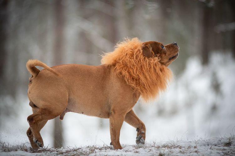 Lion .) Fantasy