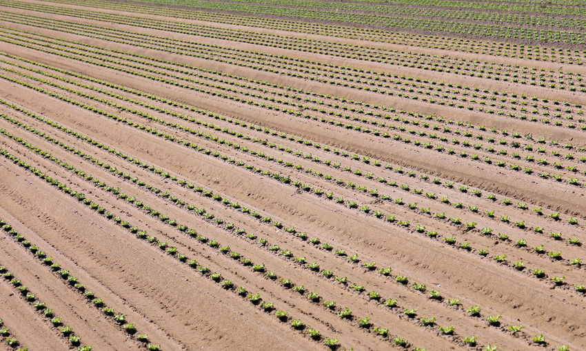 Fresh lettuce sprout in the sandy soil of an intensive vegetable cultivation