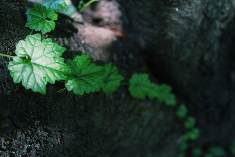 つた Plant Part