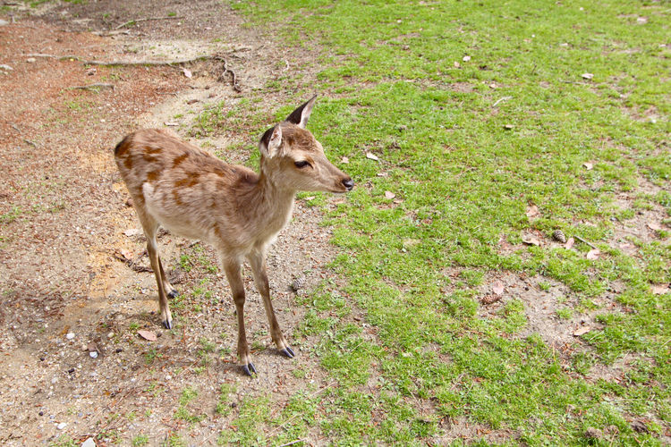 Deer Animal Animal Themes Animal Wildlife Cute Day Field Grass Mammal Nature No People One Animal Standing Vertebrate Young Animal Young Deer