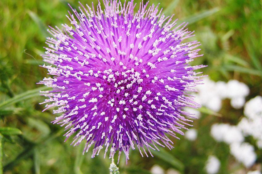 Flower Carduus Close-up Thistle
