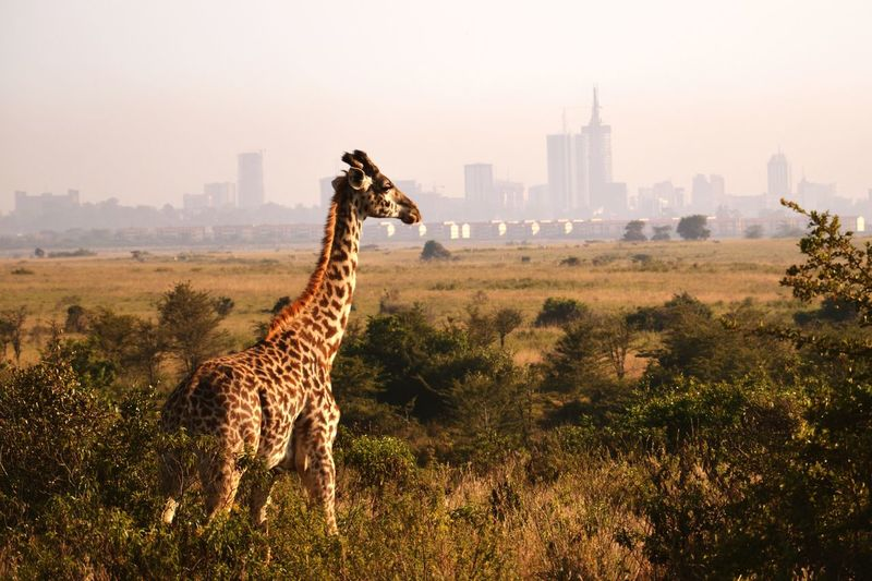 Scenic View Of Giraffe In City Against Sky