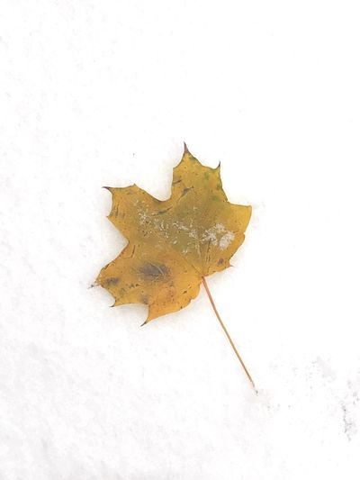 White Background Leaf Studio Shot Close-up No People Autumn Cold Temperature Nature Fragility Day Outdoors Maple snow