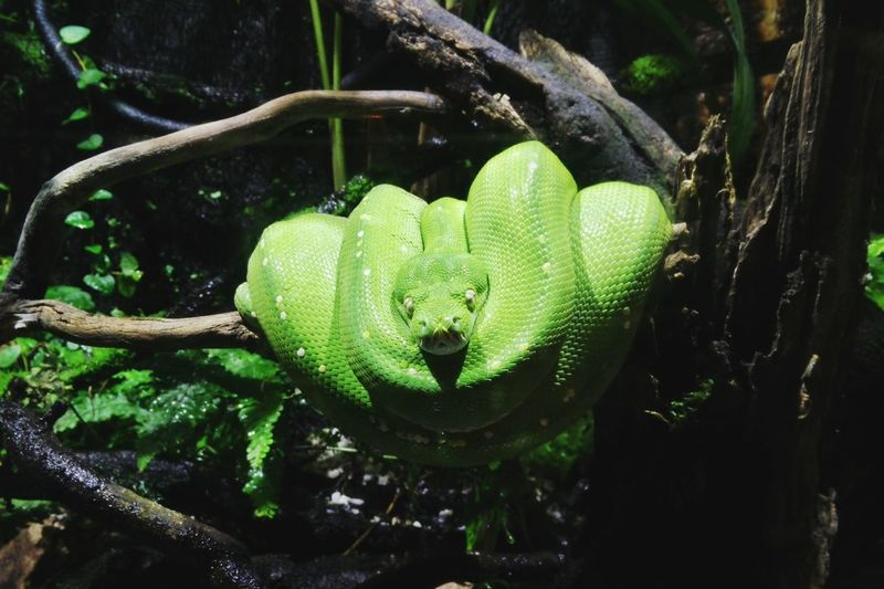"""""""I just want to take a nap, and that's it"""" Snake Greensnake Animal Photography Wildlife Photography Animal Wildlife & Nature Wildlife Eyeemphotography Instaphoto Instamood EyeEmNewHere EyeEmbestshots Instamoment Reptile Tree Water Animal Themes Close-up Green Color Animal Scale Tropical Rainforest Animal Skin Wild Animal"""