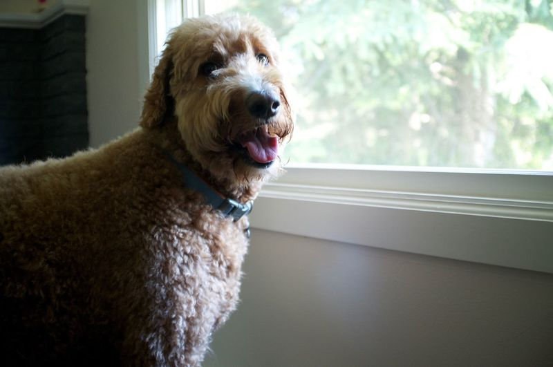 Goldendoodle looking away while standing by glass window at home