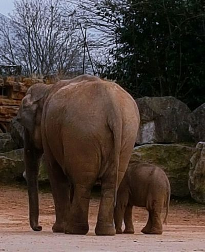 Elephant Tree Animals In The Wild Elephant Calf Standing Nature Animal Wildlife Animal Themes Outdoors Full Length No People Adult Animal Adult And Baby Animal Baby Elephant Chester Zoo Wrinkles Animal Families Beauty In Nature Mammal Nature Togetherness