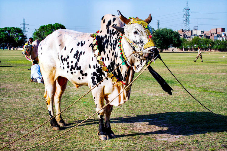Ox Show in Lahore Iftikhar Lahore Punjab Pakistan Oxford Pakistani Ox Decorated Oxens Field Mammal Grass Plant Domestic Domestic Animals Nature Land Animal Themes Animal Pets Day Vertebrate Standing Livestock Cattle Group Of Animals Sunlight Outdoors Cow Herbivorous Pet Animal Local Ox Village Life Iftikhar Rein Ornament Decoration Sun Famous Ox World Best Ox