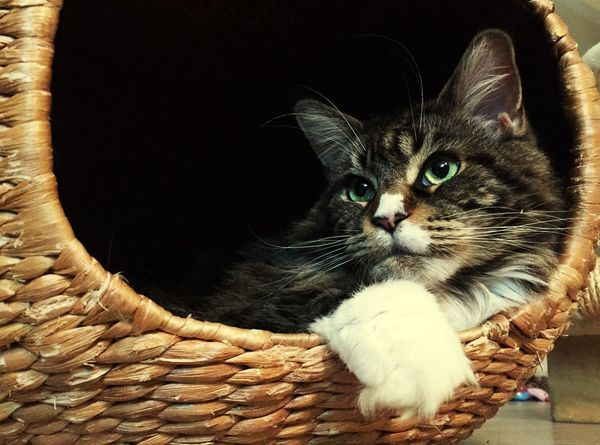 My Minka ♡♥♡♥ love, Cats 🐱 Cat♡ Domestic Cat Maine Coon Maine Coon Cat Mainecoon Maine Coon Cats Hauskatze Katzen 💜 Katzenliebe Catlove♥ Catlover ♡ Chat Chats Gatto😸 Gatto Gatti Minka The Cat Beautiful Cat Animals🐾 Iphonography Tiere♡ Haustier Katze