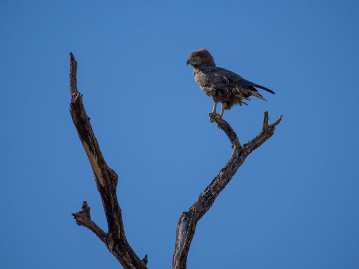 Low angle view of brown snake eagle perching on bare tree against clear blue sky