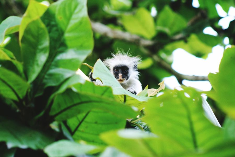 M Tanzania Colobus Zanzibar Monkey Animal Themes One Animal Animal Animal Wildlife Plant Animals In The Wild Leaf Plant Part No People Green Color Focus On Foreground Branch Close-up Growth