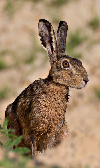 Animal Themes Animal Wildlife Animals In The Wild Close-up Day Focus On Foreground Hare Mammal Nature No People One Animal Outdoors Rabid