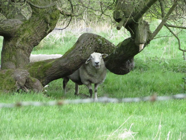 #sheep Animal Themes Animals In The Wild Domestic Animals Looking At Camera Nature No People One Animal Tree Trunk