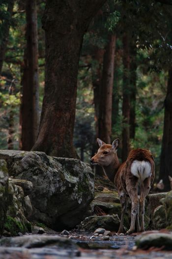 Majestic best place for relax when you want to kill everyone around you. Deer Nara Kyoto Tree Mammal Animals In The Wild Animal Animal Wildlife Forest No People Outdoors EyeEmNewHere