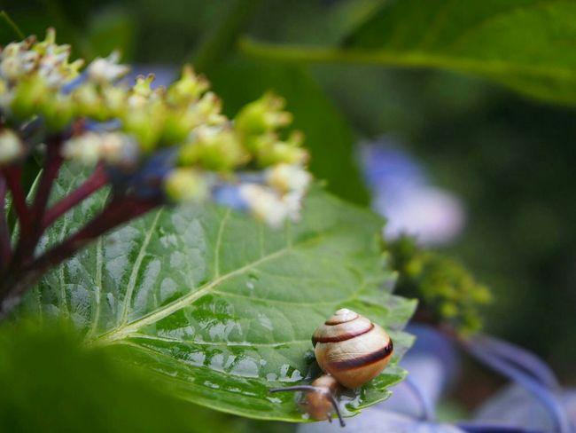 でんでんむし🐌……🐌…🐌 梅雨 あじさい Flower 昆虫 カタツムリ Eye Em Nature Lover