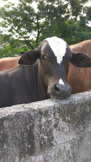 Animal Body Part Livestock Animal Head  Looking At Camera Cattle Cow Agriculture Animal Animal Themes Day Outdoors No People Nature Friendly Face Cow And Me Looking At Camera
