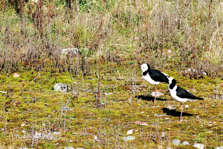A pair of black-winged stilts living free in a wildlife environment at Orana Wildlife Park in Christchurch New Zealand. Black-winged Stilt Animal Themes Animal Wildlife Animals In The Wild Bird Day Field Grass Lake Nature No People One Animal Outdoors Pied Stilt