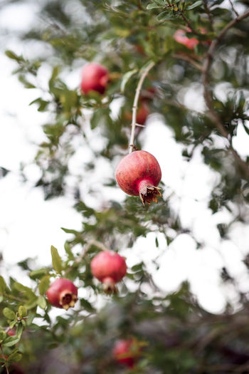 Punica granatum Beauty In Nature Branch Close-up Day Focus On Foreground Food Food And Drink Freshness Fruit Fruit Tree Fruits Granade Tree Growth Healthy Eating Low Angle View Nature No People Outdoors Plant Pomegranate Red Ripe Tree Wellbeing