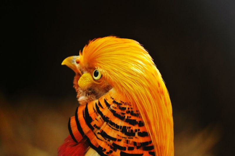 Close-up of golden pheasant perching outdoors