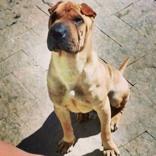Thor Gonçalves... Né @ju_eduarda !! Dog Foia Sharpei ?