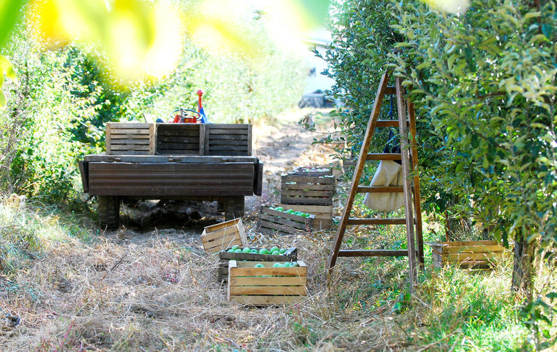 harvesting apple orchard Picking Apples Ladder Tractor Crate Wood Box Ripe Apples October Fall Orchard Apple Orchard Harvest Wood - Material Day No People Plant Nature Outdoors Land Field Growth Container
