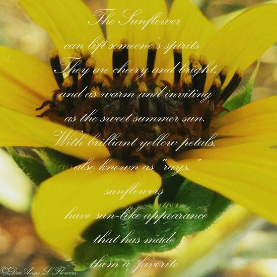 Taking Photos Sunflower Sunflowers🌻 Sunflowerlovers Sunflower - The Inside Story #1 Yellow Hello World Magazines Arizona Deelflowers77_photographer