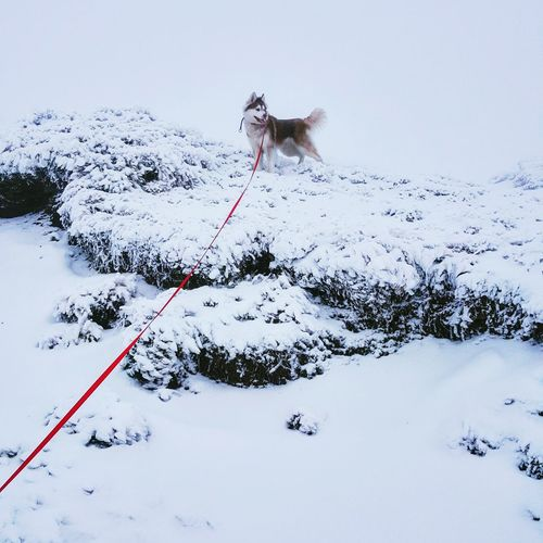 Bucegi Mountains, Romania Babele Busteni Husky ♡ Snow Dog Lover Happy Dog