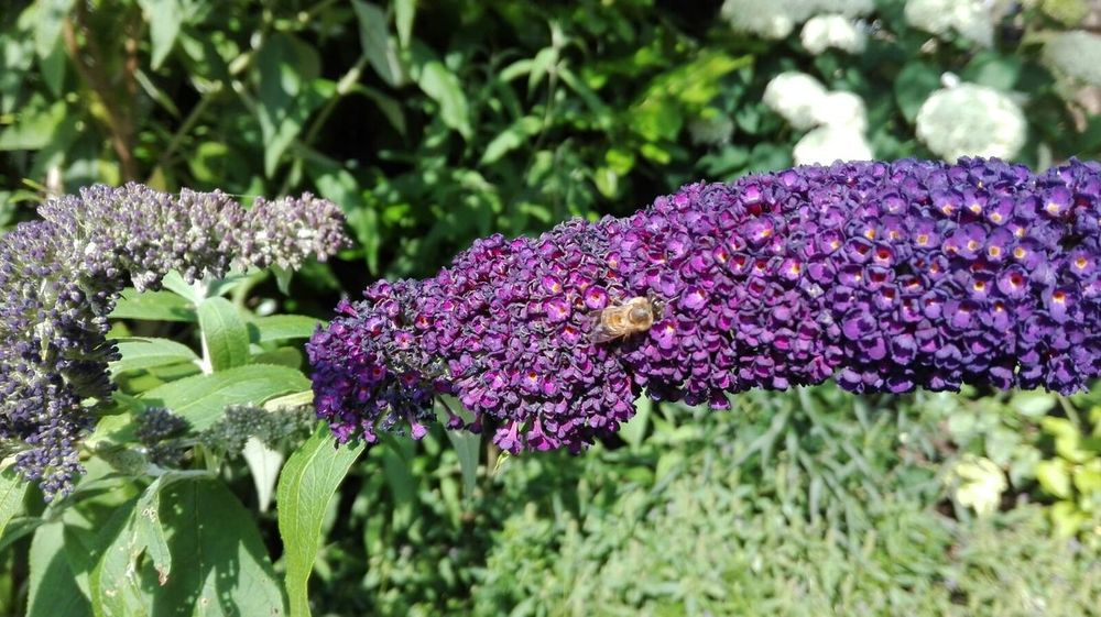 Garden Garden Photography Nature Outdoors Day Sunny Plant Detail Blue Green Focus On Foreground No People Bee Syringa Bumblebee