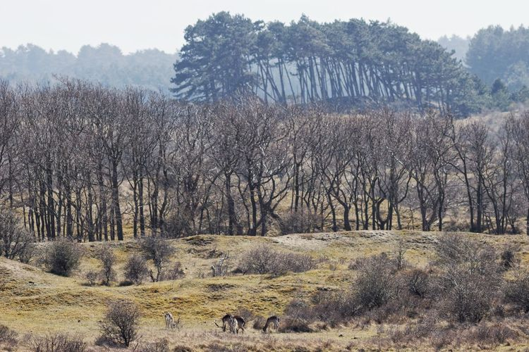 Deerhunter Dutch Landscape Dunes Kennemerduinen Landscape Deer Hunting Spring2015 Nature