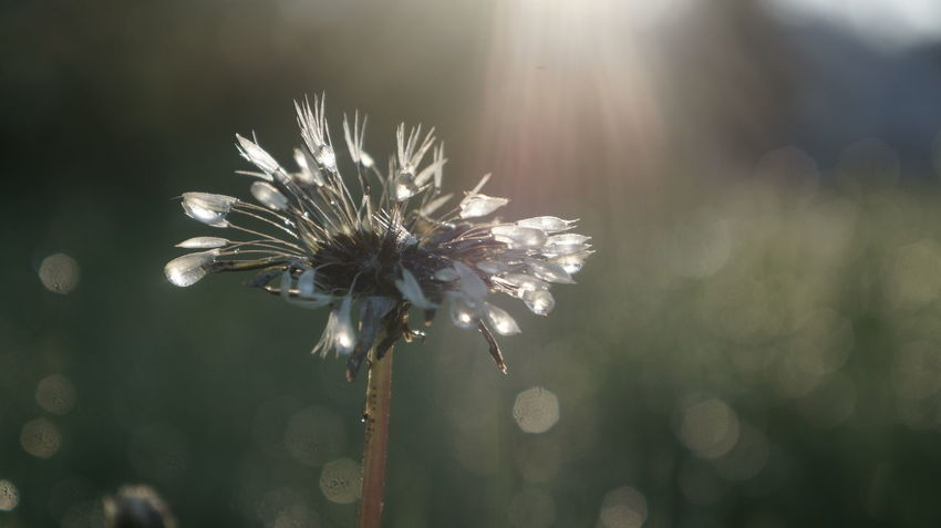 Wet dandelion in the sunlight, after the rain Beauty In Nature Blooming Blossom Botany Close-up Dandelion Dandelions Flower Flower Head Focus On Foreground Fragility Freshness Growth In Bloom Morning Nature No People Outdoors Petal Plant Selective Focus Softness Stem Sun Twig