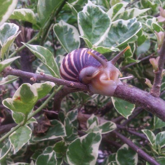 I'm garry!!!!! Ini bekicot jenis apa ya? Yg motifnyq begini banyak banget di daerah ini Snails Bekicot Nature Creature animals instaphoto instanature instapic picoftheday photooftheday species