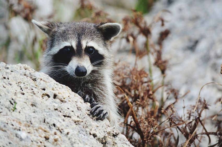 EyeEm Selects One Animal Animals In The Wild Animal Wildlife Mammal Raccoon Looking At Camera Animal Themes Outdoors Day Nature No People Portrait Close-up River Side