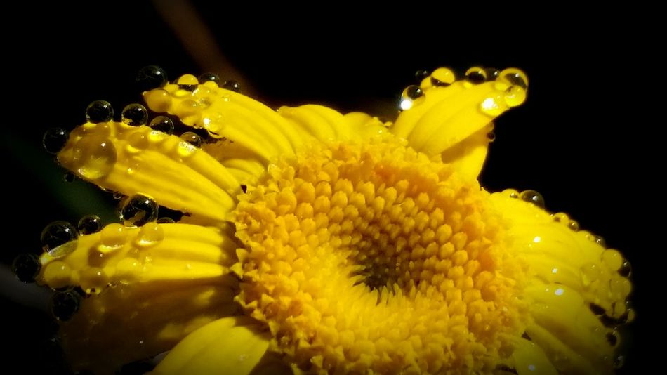 Yellow Close-up Beauty In Nature Take Photo Macro_brilliance Macroshot Nature_collection Eyeemphoto Eyemgallery Eyeem Photography EyeEm The Best Shots Macro Clique Eyem Collection Flower Head Macro_perfection Extreme Close-up Popularphotos Followme Take A Photo Vibrant Color Droplets On Flower Droplets, Water Droplets, Flowers  Gotas De Agua Morningglory Naturelover
