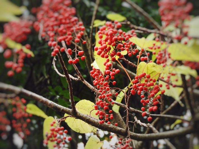 Eye-catching Color This Season Beauty In Nature Berry Fruit Close-up Day Freshness Fruit Growing Growth Nature No People Outdoors Red Tree