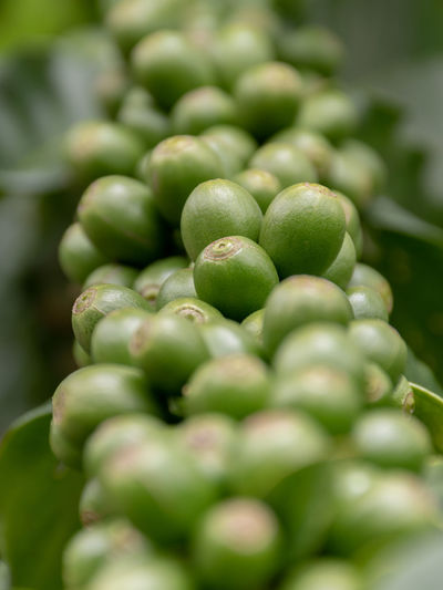 Agriculture Arabica Arabica Coffee ASIA Background Bean Beans Berries Berry Beverage Branch Bush Caffeine Closeup Coffea Coffea Arabica Coffee Composition Crop  depth of field Drink Farm Farming Food Fresh Fruit Green Grow Growth Harvest Industry Leaf Nature Organic Photography Plant Plantation Raw Raw Coffee Red Ripe Robusta Technique Thailand Tree Tropical Unripe Using Green Color Food And Drink Healthy Eating Freshness Wellbeing Close-up Selective Focus No People Large Group Of Objects Abundance Day Vegetable Still Life Raw Food