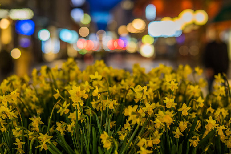 Yellow Daffodils Blooming At Night