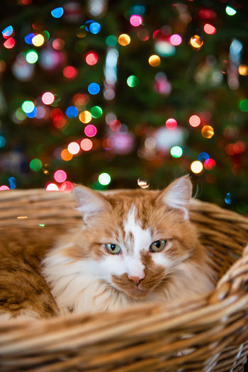 Handsome orange and white male tabby cat laying in wicker basket looking at camera with blurry multicolored Christmas lights in background Adopt Adult Animal Animal Themes Backgrounds Basket Blurry Lights Bokeh Cat Christmas Lights Christmas Tree Content Domestic Animals Fluffy Green Eyes Hand Indoors  Looking At Camera No People One Animal Orange And White Cat Pets Portrait Wicker Working Woven