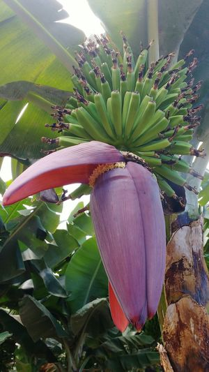 Banana flower Agriculture Plant Nature Leaf Banana Tree Fruit Food Tree Beauty In Nature Banana Flower Plantation Small Bananas Bananas Growing Green Bananas Young Bananas Perspectives On Nature