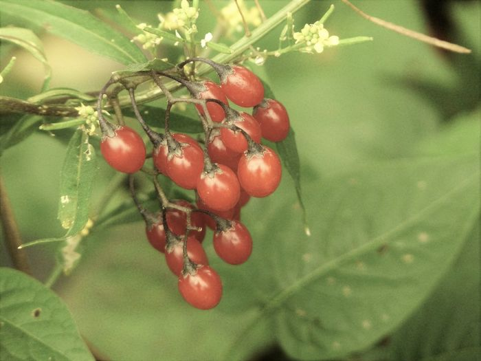 Nature Plant Red