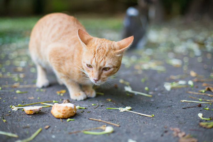 What the taste is? Bakery Brown Cat Cat♡ Close-up Cream Cream Puff Creamy Domestic Cat Eating Feline Focus On Foreground Ground Leaves Mammal Nose Outdoor Outdoors Pet Pet Photography  Petal Selective Focus Sitting Whisker