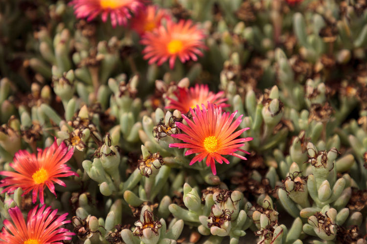 Ice plant succulent, Carpobrotus edulis, creeping ground cover on beach sand in the spring in Southern California Beauty In Nature Blooming Carpobrotus Edulis Close-up Day Flower Flower Head Fragility Freshness Growth ICE PLANT Ice Plant Flower Nature No People Orange Flower Outdoors Petal Plant Red Flower Succulent Plant Succulents