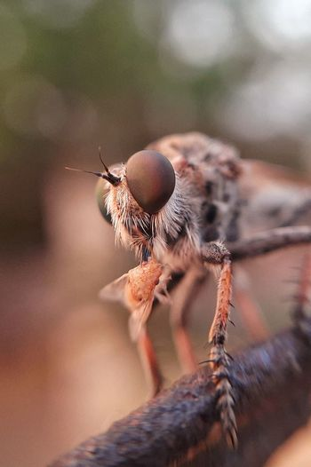 Close-up of insect dragon fly eating its prey